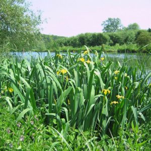 PFS5 Wetland Pond Edge Wildflower Seed Mix