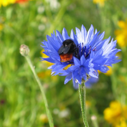 Wildflower Mixes for Bumblebees