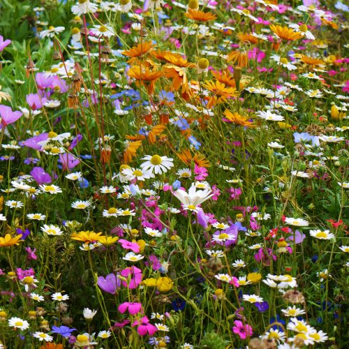 Wildflower seed mixes from Phoenix Amenities