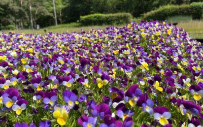 Ground Preparation for Wildflowers