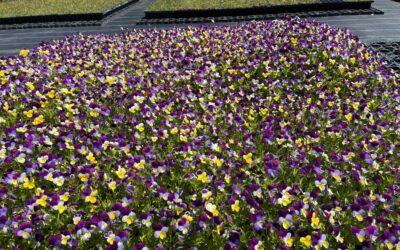 Nursery for British Wildflowers
