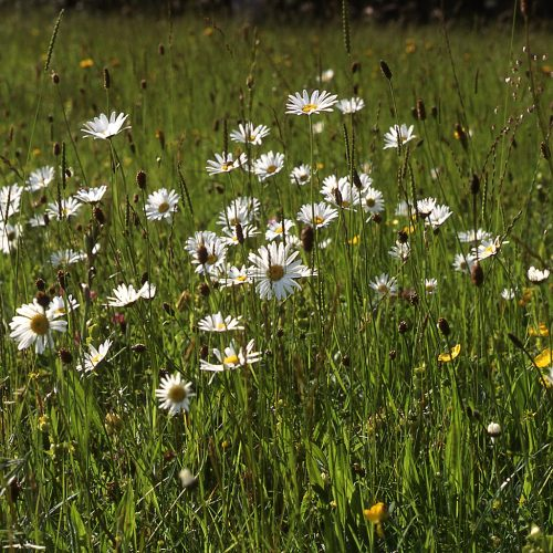 BFS 2 - DrySemi Acidic Soil Wildflower Seed Mix