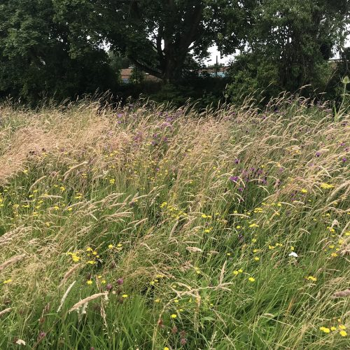 Traditional Hay Meadow Wildflower Seed