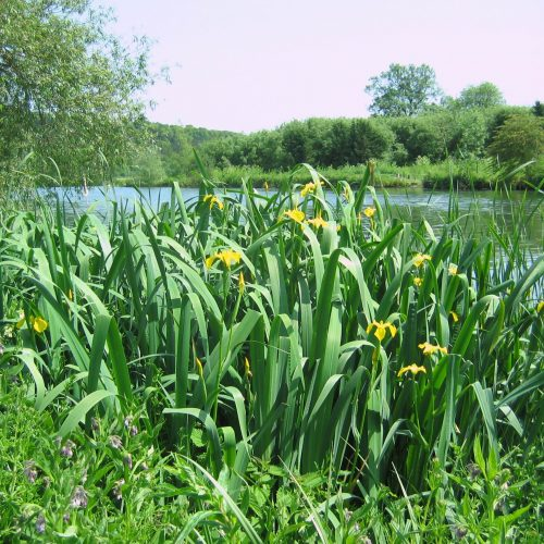 BFS 5 Wetland Pond Edge Wildflower Seed Mix
