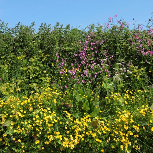 BFS 6 Hedgerow and Shade Wildflower Seed Mix