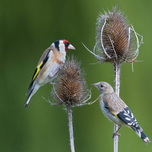 BFS 120 - Wildlife Wildflower Seed Mix